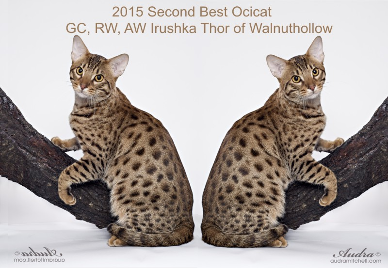 A chocolate spotted Ocicat female